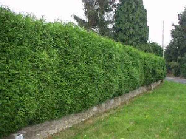 iglaki posadzone przy ogrodzeniu